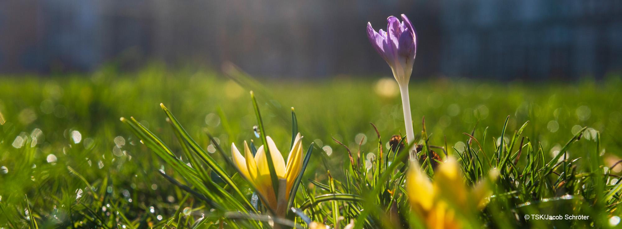 Blühende Krokusse im Frühjahr auf grüner Wiese
